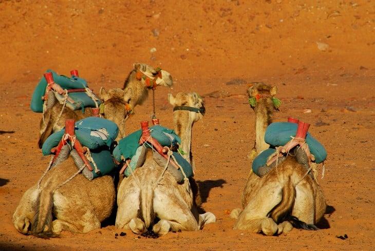 Camellos sentados en un desierto de Egipto