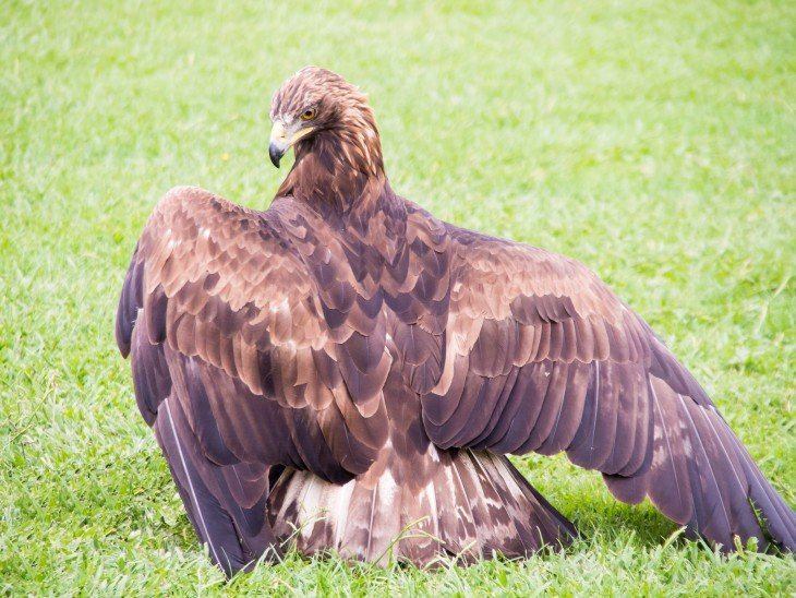 Águila Esteparia