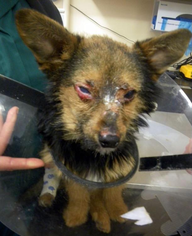 Pequeño cachorro rescatado con la cara quemada
