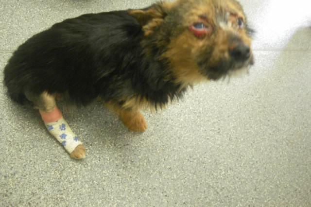 cachorro con una pata rota y la cara quemada