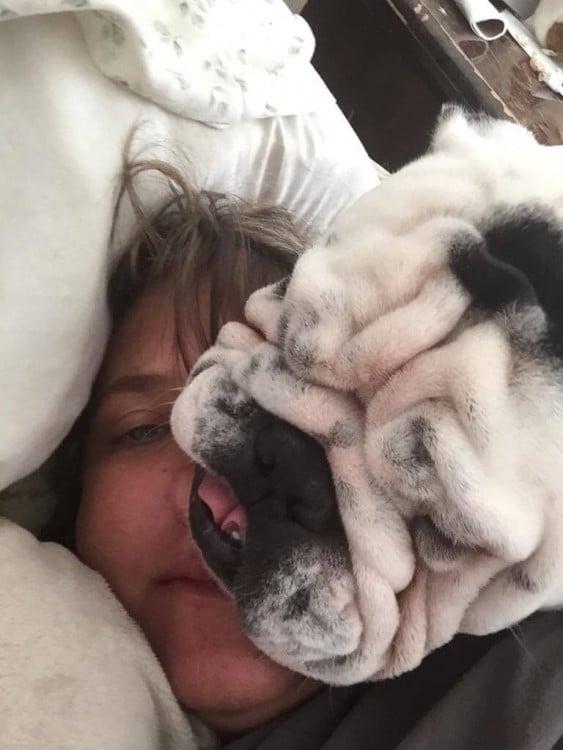 Esta bulldog Inglés también necesitaba una mullida almohada, su dueña le pareció perfecta