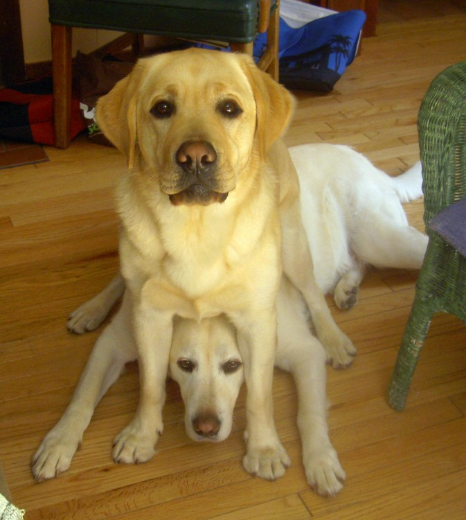 Perro labrador encima de su perro labrador