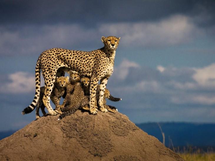 gatitos de guepardo en un desierto africano