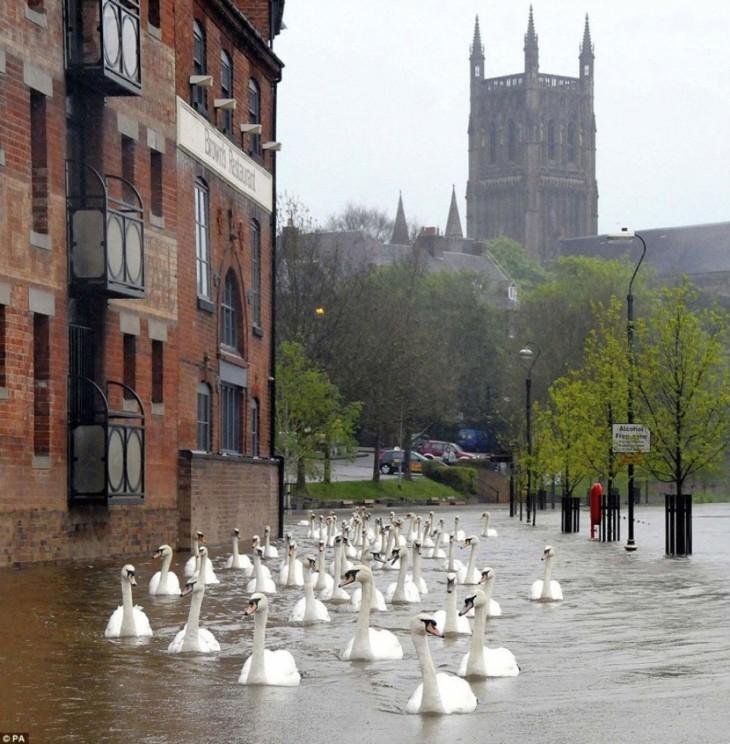 Cisnes nadando por inglaterra después de una gran inundación