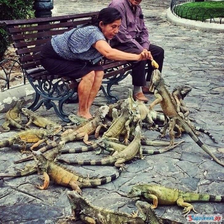 mujer alimentando lagartos en Ecuador, iguanas grandes