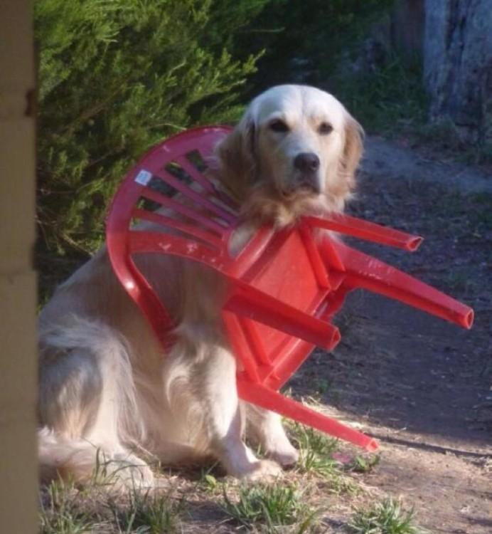 perro atorado en la cabeza con una silla roja