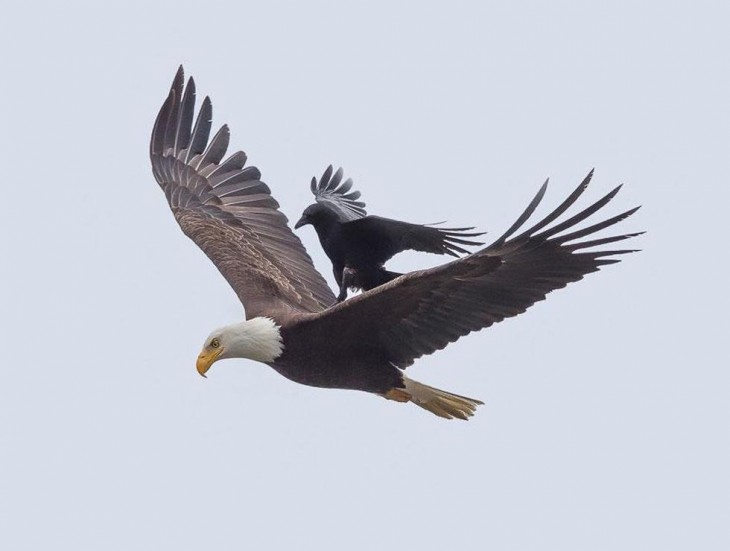 águila cargando a un cuervo mientras planean en el cielo