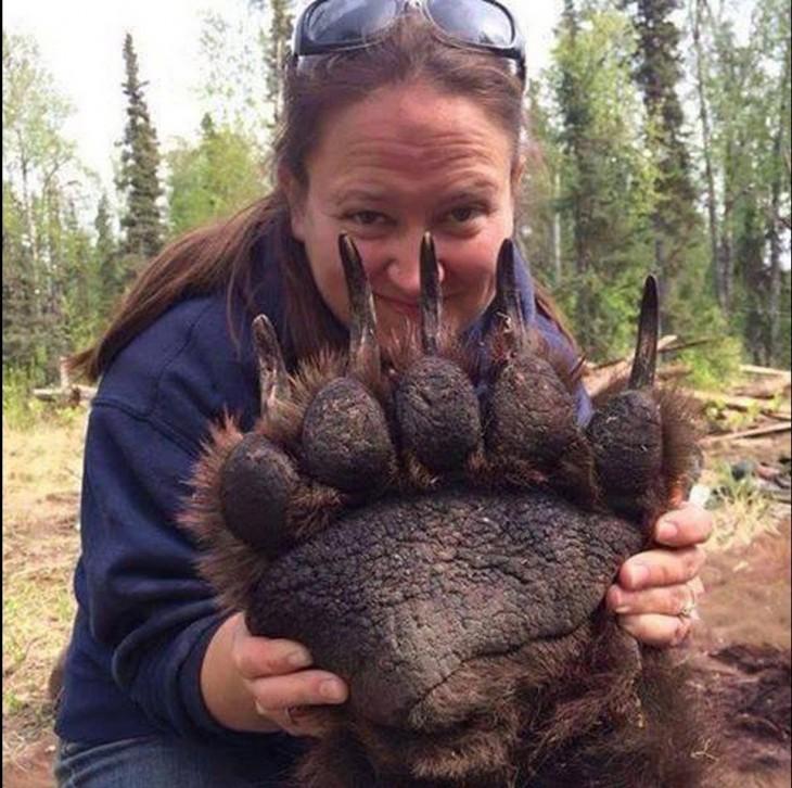 La garra de un oso grizley tomado de una mujer norteamericana que es una veterinaria canadiense