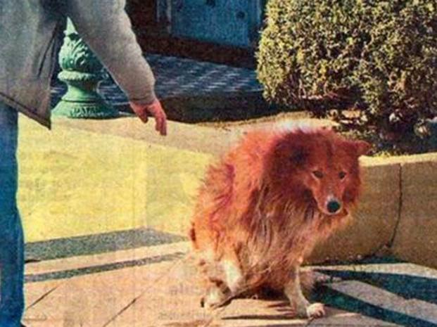 Collie el perrito fiel de Argentina