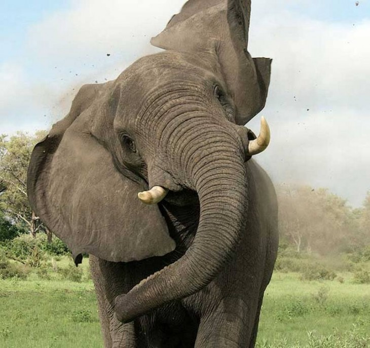 Elefante enfurecido mostrando sus colmillos de marfil