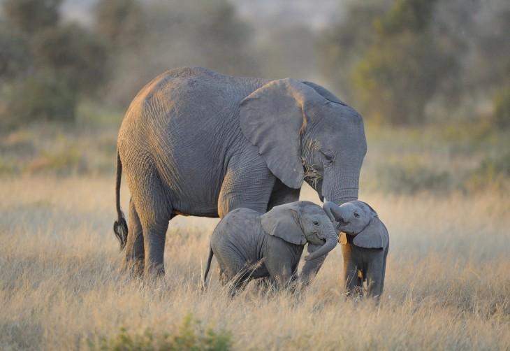 dos pequeños elefante cerca de su mama en su hábitat natural