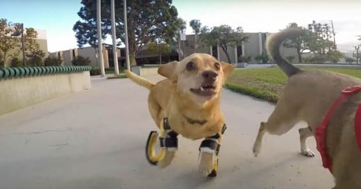 Daisy es una perrita con discapacidad motriz, le adaptan unas prótesis para que pueda correr