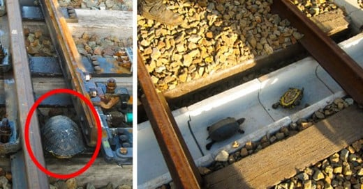 Para Salvar a esta Tortuguitas crearon un camino especial para ellas en el sistema de trenes en Japon