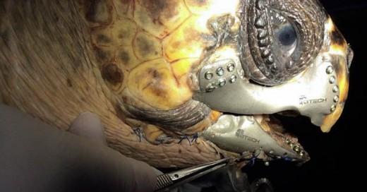 prótesis de mandíbula que le hicieron a esta tortuga