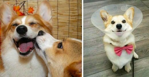 Estamos a muy poco de decirle adiós al 2015, y si tú eres amante de los perros y te fascinan los Corgis