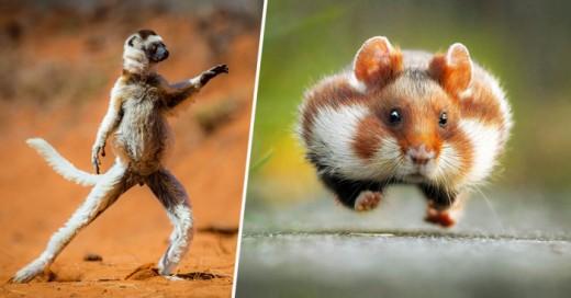 Las fotografías seleccionadas son de impresionantes animales que actúan como si fueran humanos