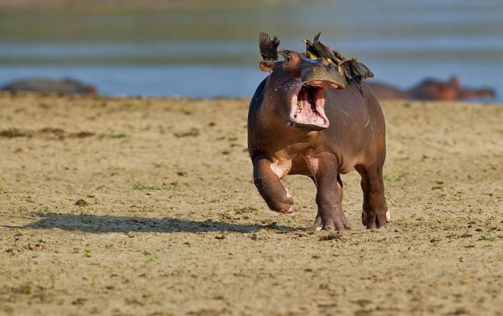 Fotografía de unas aves encima de una hipopótamo