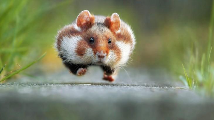 Fotografía de un ratón corriendo por Julian Rad