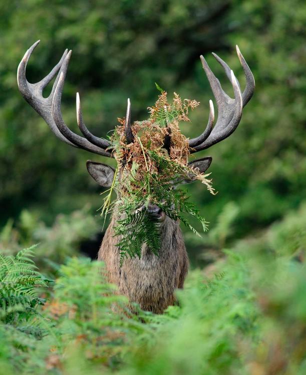 Ciervo con hojas entre sus cuernos por el fotógrafo Liam Richardson