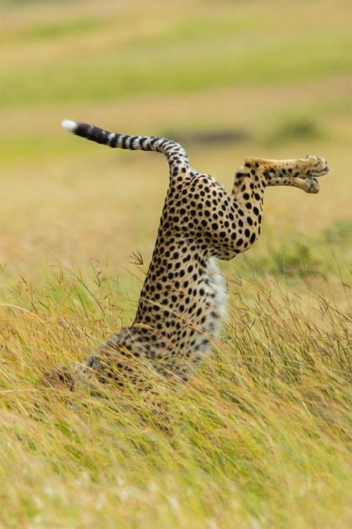 Fotografía de un leopardo cayéndose en una pasto