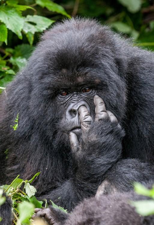 Fotografía de un gorila metiendo su dedo en su nariz