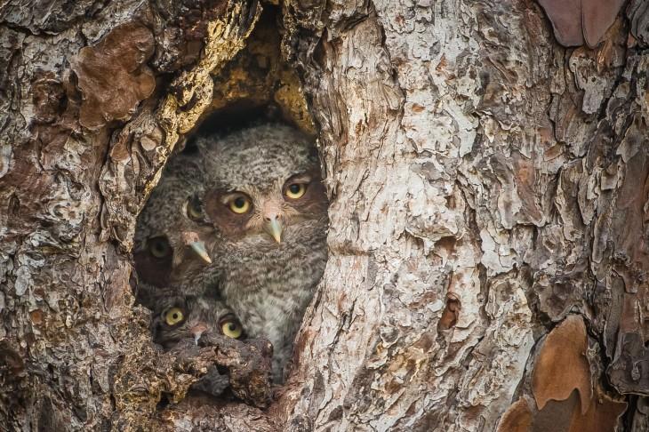 tres búhos dentro de un árbol