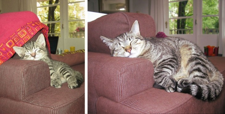 Gato acostado sobre un sillón dormido antes y después de un tiempo