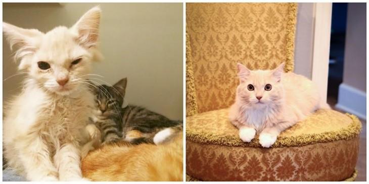 foto del antes y después de un gato color amarillo