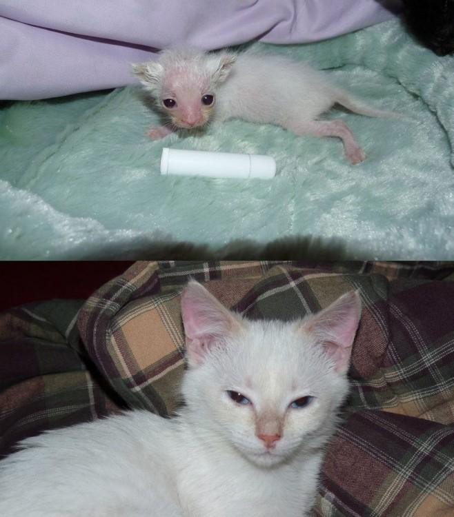Foto del crecimiento de un pequeño gatito blanco
