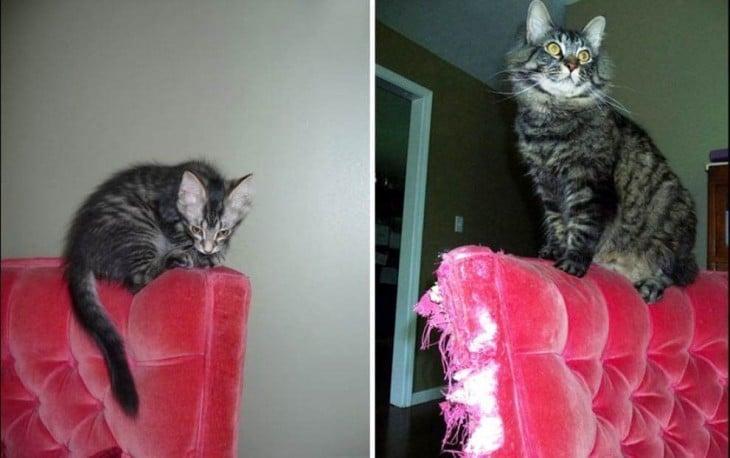 fotografía que muestra el antes y después de un gato sobre un sillón rojo
