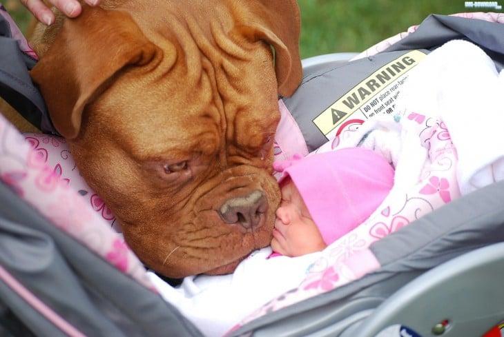 cabeza de un perro grande lamiendo la cara de una pequeña bebé