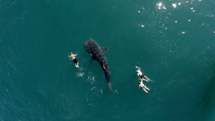 tres personas nadando junto a un tiburón ballena