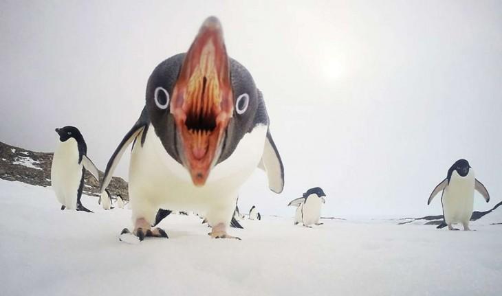 Cuando los pingüinos atacan, la Antártida Por Clinton Berry
