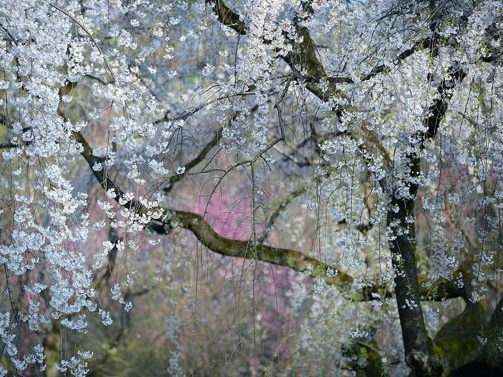 Flores imperiales en el Palacio Imperial en Kyoto, Japón