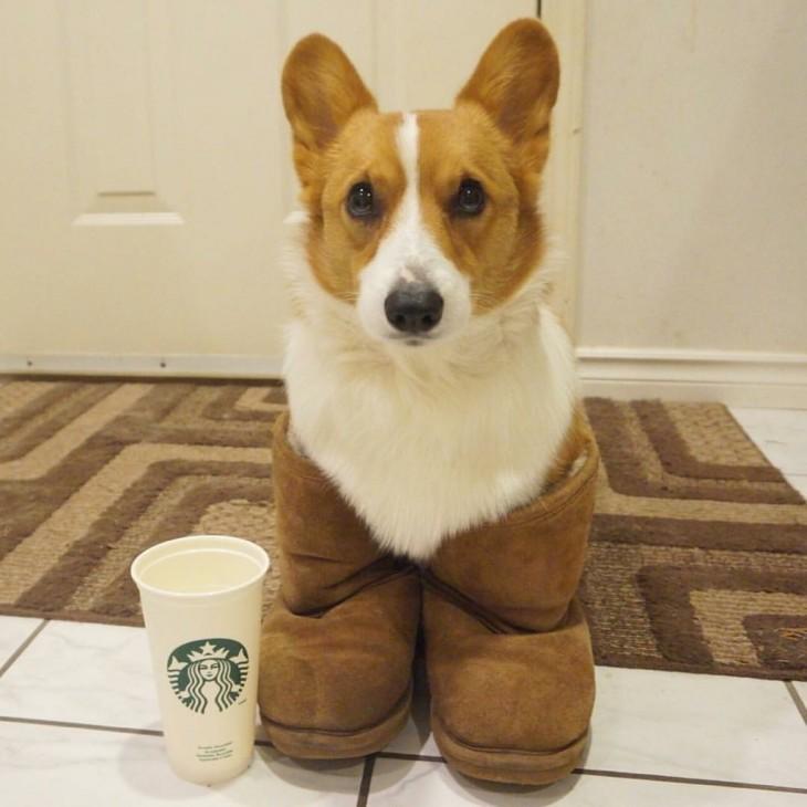 Corgi dentro de una botas cafés cerca de un vaso Starbucks