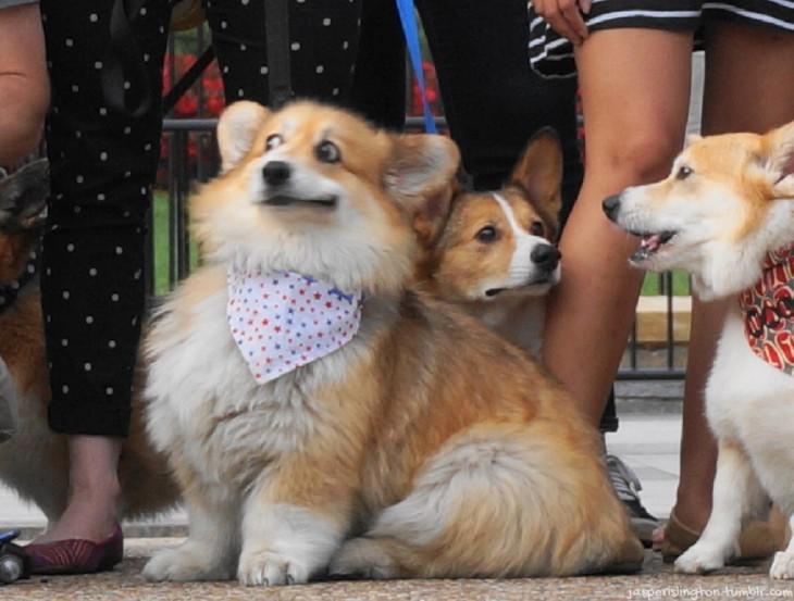 Corgi con cara de sorpresa cerca de otros cachorros corgis