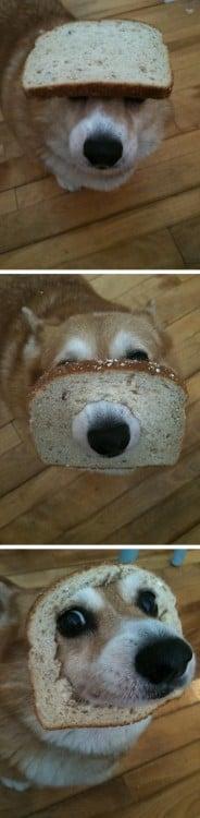 Fotografías de un Corgi atorado en una rebanada de pan