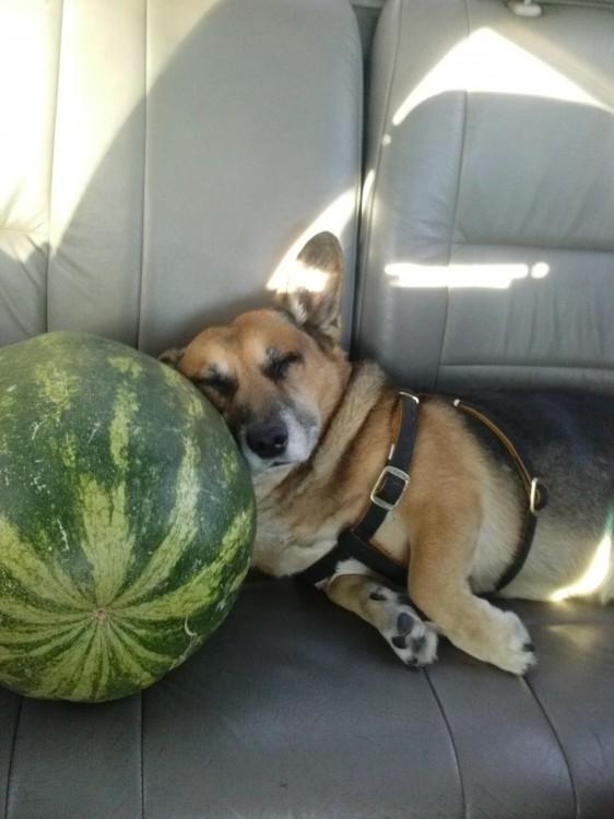 Perro Corgi acostado sobre una sandía en el asiento de un coche