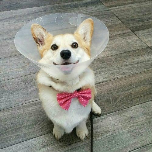 Pequeño cachorro Corgi con una lesión en su cuello