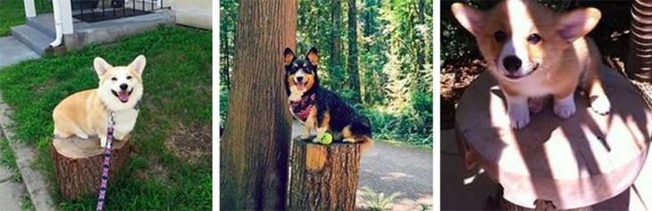 Fotografías de cachorros Corgis sobre troncos de madera