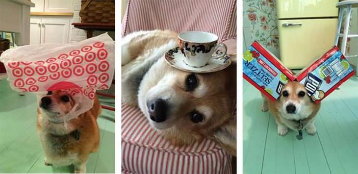 3 fotografías de un cachorro Corgi con cosas en su cabeza