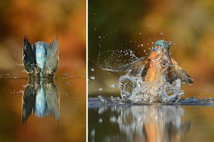 dos fotografías de un pájaro martín pescador dentro del agua partida por la mitad