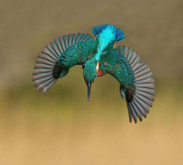 Pájaro Martín Pescador volando con las alas abiertas