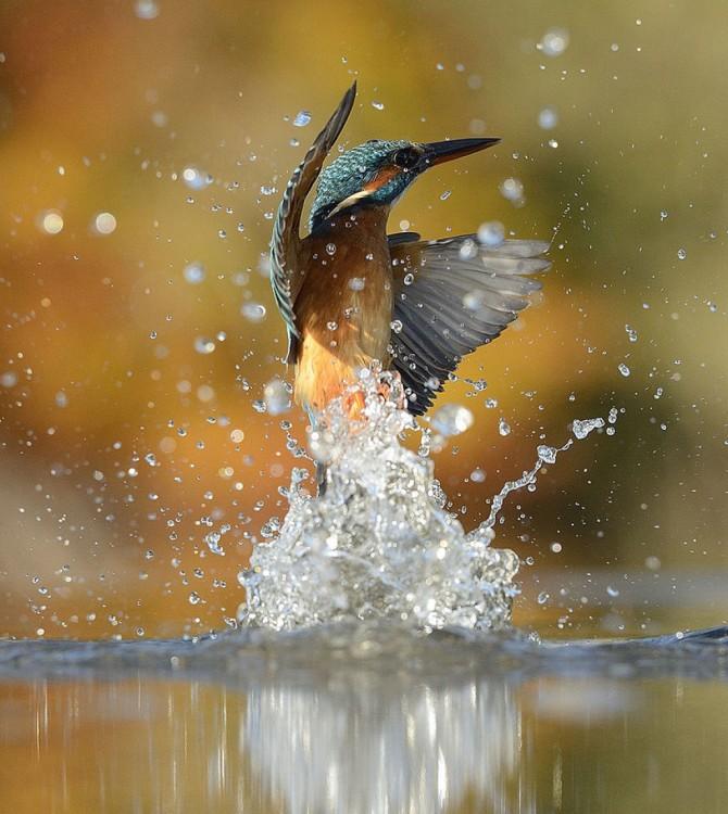 martín pescador salpicando agua