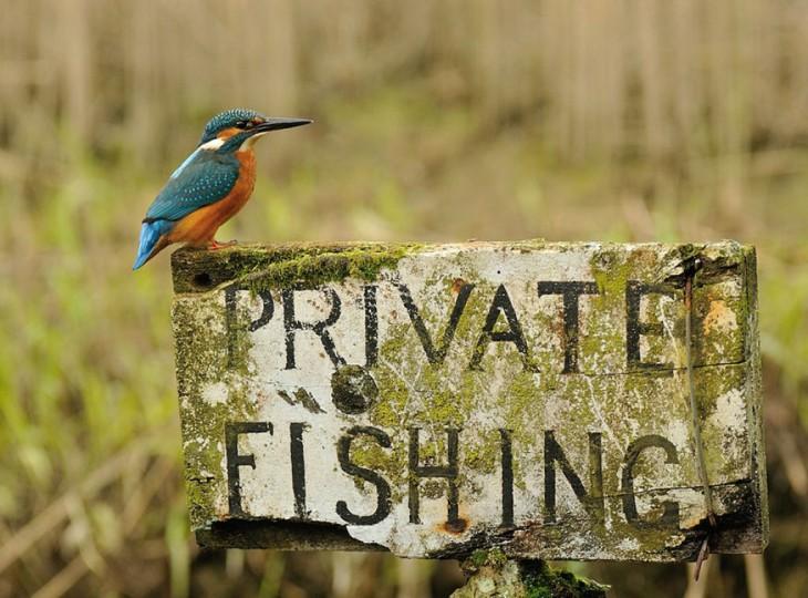 """Pájaro Martín Pescador parado sobre un letrero que dice """"Private Fishing"""""""