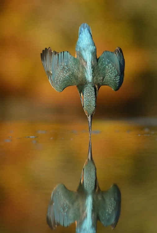 fotografía de un martín pescador tocando perfectamente el agua