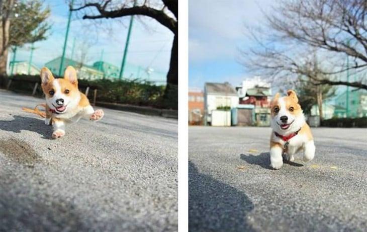 fotografías de un pequeño corgi corriendo por una calle