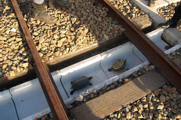 Túnel para tortugas bajo los rieles del ferrocarril en Japón