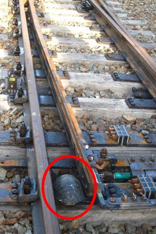 tortuga atorada entre las vías de un tren en Japón