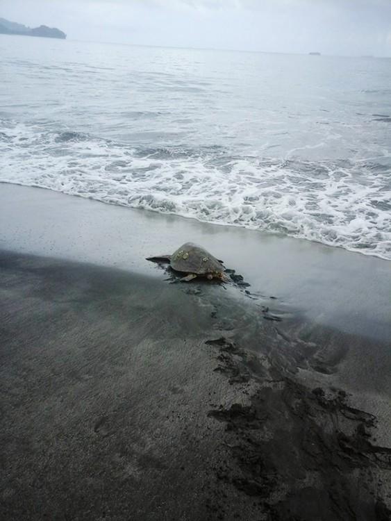 SOLO ESPERAMOS QUE LAS TORTUGAS NO VUELVAN A SER CAZADAS POR GRANDESDEPREDADORES DEL OCEANO